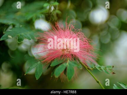 Calliandra eriophylla, Pink Fairy Duster - Stock Photo