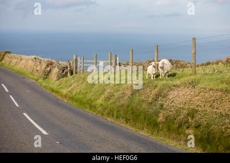 Sheep at Roadside in Exmoor National Park, UK. - Stock Photo