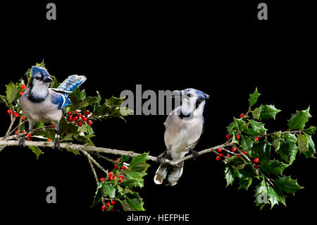 A pair of colorful Blue Jays perched on a branch of holly against a solid black background. - Stock Photo