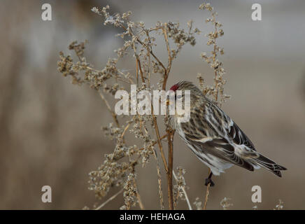 Common Redpoll Acanthis flammea - Stock Photo