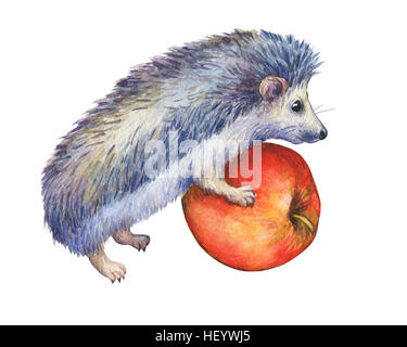 Prickly hedgehog holds red apple in paws. Hand painted watercolor illustration isolated on white background. - Stock Photo