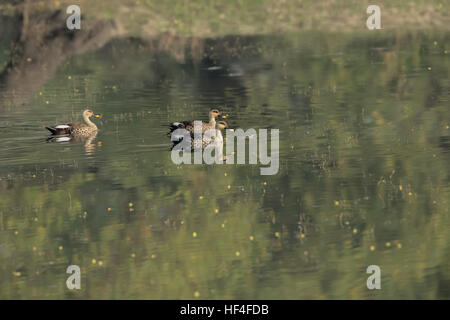 Spot billed duck swimming in a lake - Stock Photo