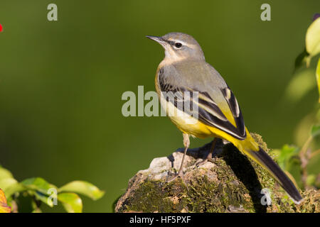 Grey Wagtail (Motacilla cinerea), first winter plumage standing on a rock - Stock Photo