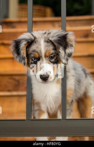 Three month old Blue Merle Australian Shepherd puppy, Luna, trying to get through the railing on her new deck - Stock Photo
