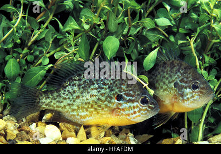 Pumpkinseed Sunfish,  lepomis gibbosus - Stock Photo