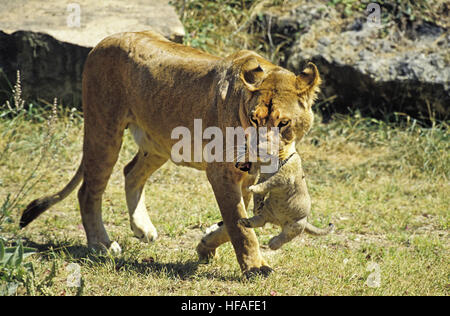 African Lion,  panthera leo, Mother carrying Cub in its Mouth - Stock Photo