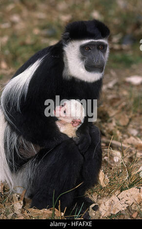 Black and White Colombus Monkey,  colobus guereza, Mother and young - Stock Photo