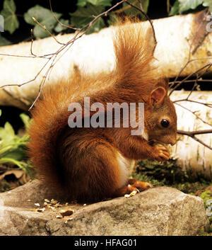 Red Squirrel, sciurus vulgaris, Adult eating  Chestnut - Stock Photo