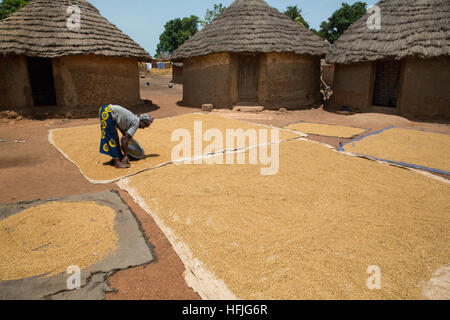 Koumban village, Guinea, 2nd May 2015; Fanta Diakité is drying paddy rice under the sun after cooking it. - Stock Photo