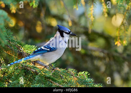 An eastern bluejay perched on the branches of a fir tree in the warm evening light near Hinton Alberta Canada. - Stock Photo
