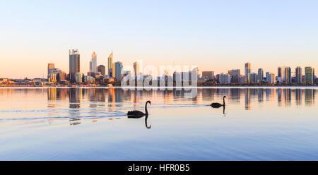 Two black swans (Cygnus atratus) on the Swan River at sunrise. Perth Australia. The black swan is the state bird - Stock Photo
