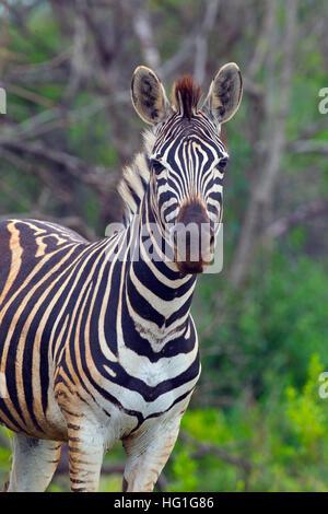 Portrait of a Burchell's zebra (Equus quagga burchellii) - Stock Photo