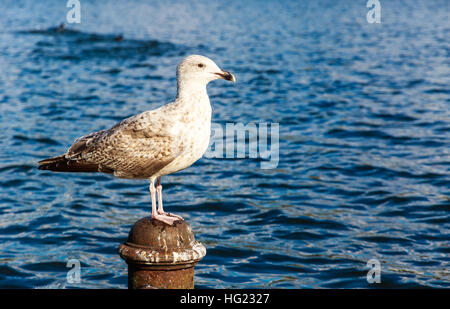 Gull perching on a post in Hyde Park, London - Stock Photo