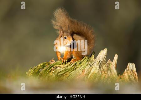 Red Squirrel (Sciurus vulgaris) sitting on a tree stump in winter - Stock Photo