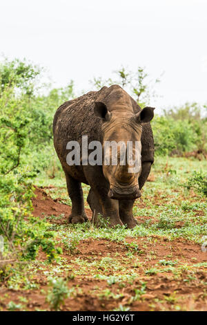 Portrait of white rhino in an open field in South Africa - Stock Photo