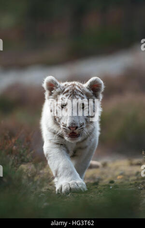 Royal Bengal Tiger ( Panthera tigris ), white morph, young, cute, sneaking straight towards the photographer, frontal - Stock Photo