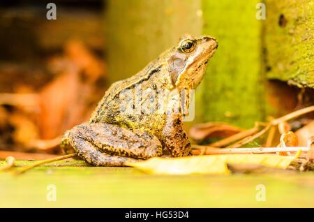 Common frog (Rana temporaria) in a Lancashire garden - Stock Photo