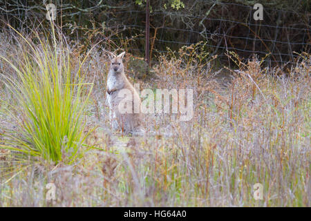 Red-necked Wallaby or Bennett's Wallaby (Macropus rufogriseus) - Stock Photo