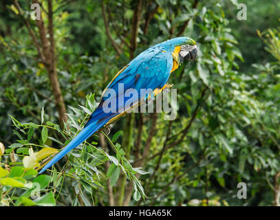Blue-and-yellow Macaw perched on a branch - Stock Photo