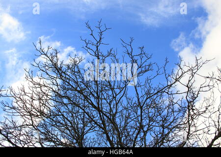 Walnut in November without leaves - Stock Photo