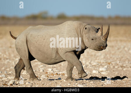 A black rhinoceros (Diceros bicornis) in natural habitat, Etosha National Park, Namibia - Stock Photo