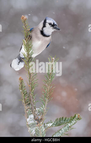 Blue jay in snow storm. - Stock Photo