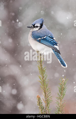 Blue Jay Surrounded By Snow - Stock Photo