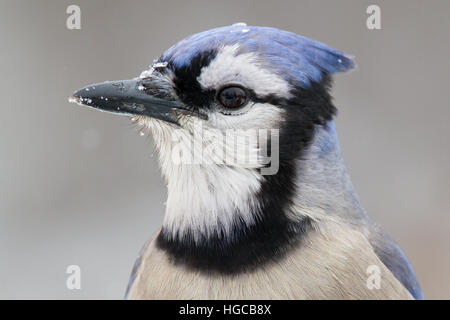 A closeup of a blue jay during a snow-fall. - Stock Photo
