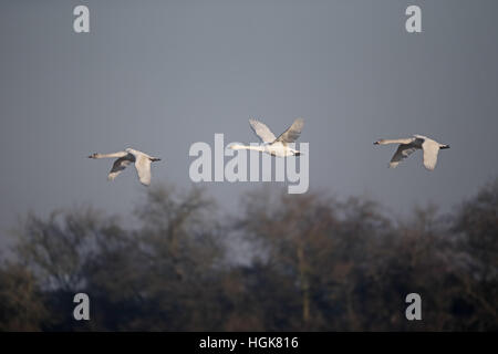 Bewicks swan, Cygnus columbianus bewickii, three bird in flight, Slimbridge, Gloucestershire, January 2017 - Stock Photo
