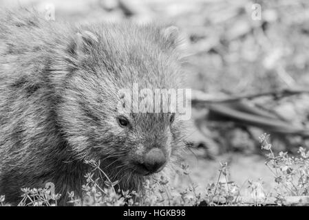 Wombat Portrait - Stock Photo