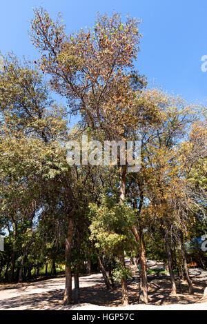 Ash Tree Groves in Kazakhstan - Stock Photo