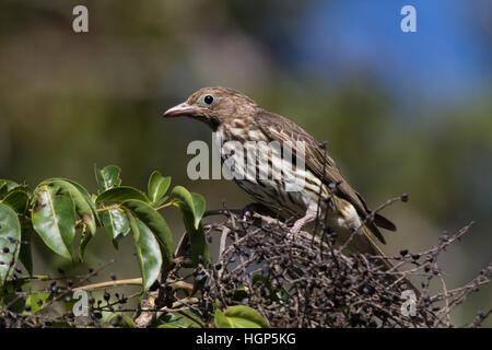female Australasian Figbird (Sphecotheres vieilloti) - Stock Photo