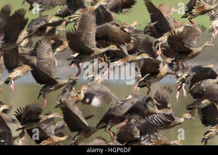 flock of Plumed Whistling-ducks (Dendrocygna arcuata) in flight - Stock Photo