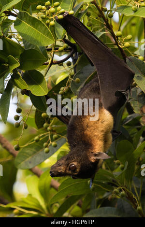 Spectacled Flying-fox (Pteropus conspicillatus) eating fruit during daylight - Stock Photo