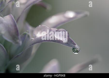 Plantain lily Hosta halcyon - Stock Photo