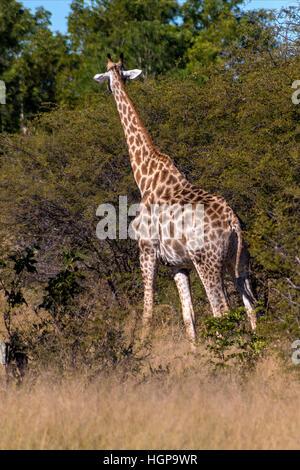 South African Giraffe in Hwange National Park Zimbabwe - Stock Photo