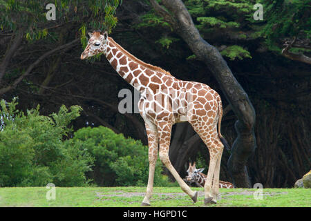 giraffe walking on grass with bushes and tall trees in background, another giraffe in the distance seen between - Stock Photo