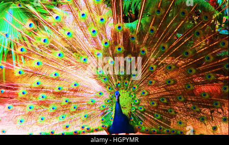 peacock strutting its stuff - Stock Photo