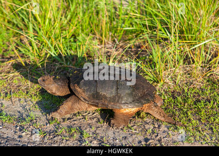 A snapping turtle, Chelydra serpentina, in Plymouth, Massachusetts. - Stock Photo