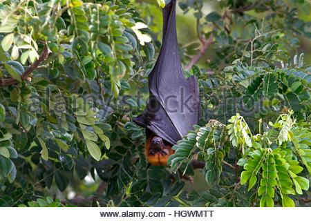 Lyle's flying fox Pteropus lylei Bat Sleeping - Stock Photo