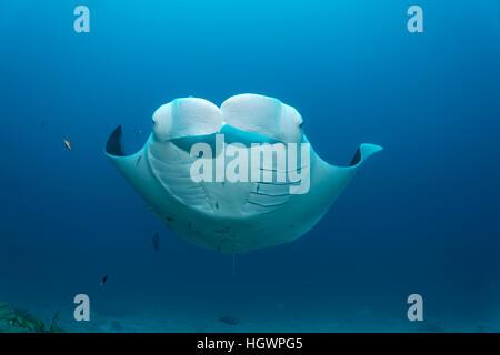Manta ray (Manta birostris) swimming in ocean, Lhaviyani Atoll, Maldives - Stock Photo