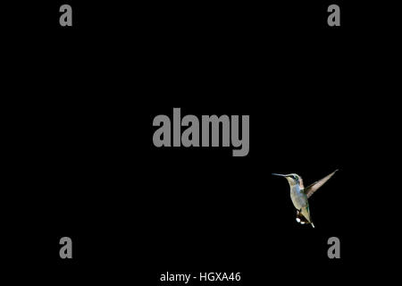A Ruby-throated Hummingbird hovers in space against a solid black background. - Stock Photo