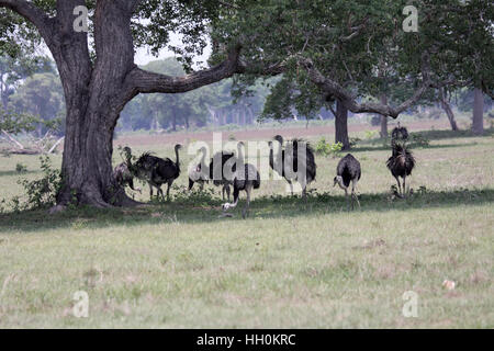 Greater rhea flock in shade of large tree in Brazil - Stock Photo