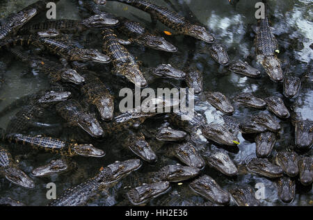 American Alligator,   alligator mississipiensis, Head of Youngs at Surface - Stock Photo