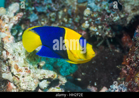 Bicolour angelfish (Centropyge bicolor).  Misool, Raja Ampat, West Papua, Indonesia. - Stock Photo