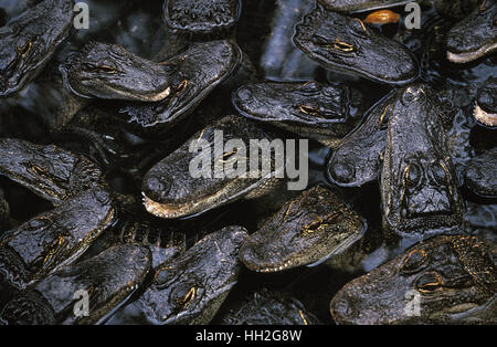 American Alligator,   alligator mississipiensis, Head of Youngs emerging from Water - Stock Photo