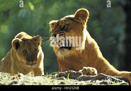African Lion, panthera leo, Mother and Cub, Submission behaviour - Stock Photo