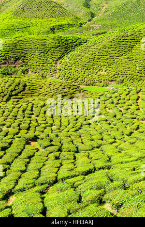 Scenic tea plantations in cameron highlands, Malaysia - Stock Photo