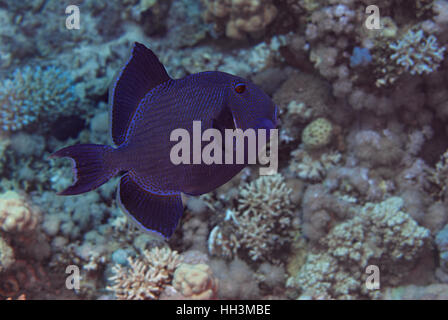 Redtooth Triggerfish, Odonus niger, Balestidae, Red Sea, Sharm el-Sheikh, Egypt - Stock Photo