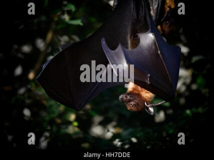 Fruit bat or flying fox (Pteropus sp.) hanging in tree, endemic to Southeast Asia, captive - Stock Photo